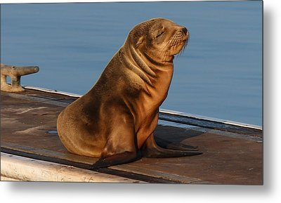 Sleeping Wild Sea Lion Pup  Metal Print by Christy Pooschke