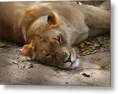 Sleepy Lioness Metal Print by Ann Lauwers