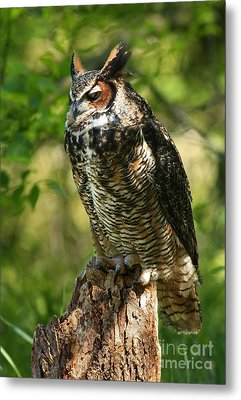 Sleepy Time In The Forest Great Horned Owl  Metal Print by Inspired Nature Photography Fine Art Photography