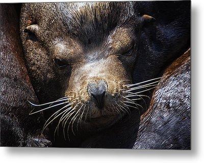 Sleepyhead Sea Lion Metal Print by Mark Kiver