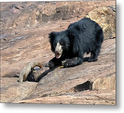 Sloth Bear And Mongoose Metal Print by K Jayaram