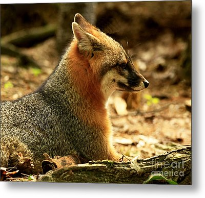 Sly Rare Grey Fox  Metal Print by Inspired Nature Photography Fine Art Photography