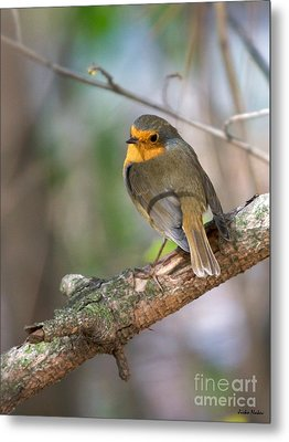 Small Bird Robin Metal Print by Jivko Nakev
