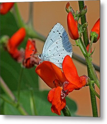 Small Blue Butterfly Metal Print