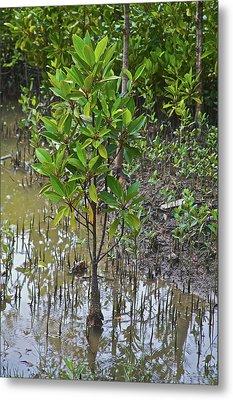 Small Mangrove Tree, Sunderbans Metal Print by Connie Bransilver