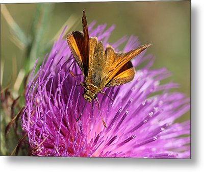Metal Print featuring the photograph Small Skipper - Thymelicus Sylvestris by Jivko Nakev