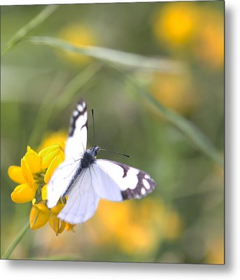 Metal Print featuring the photograph Small White Butterfly On Yellow Flower by Belinda Greb
