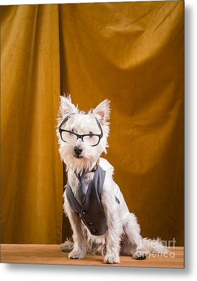 Small White Dog Wearing Glasses And Vest Metal Print by Edward Fielding
