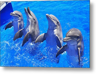 Smiling Dolphins Metal Print