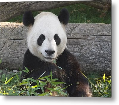 Smiling Giant Panda Metal Print
