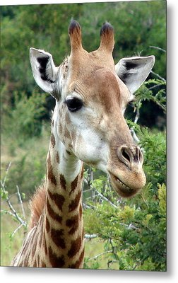 Smiling Giraffe Metal Print by Ramona Johnston