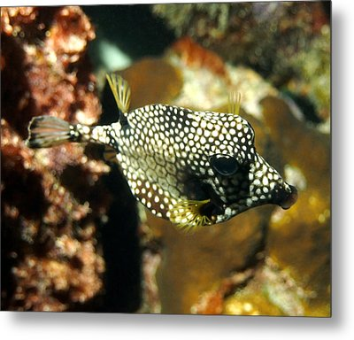 Metal Print featuring the photograph Smooth Trunkfish by Amy McDaniel
