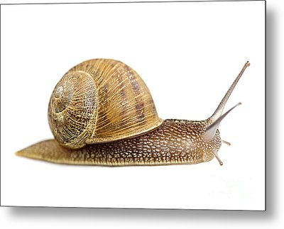 Snail Metal Print by Elena Elisseeva