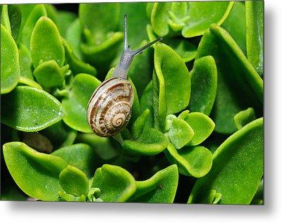 Snail Metal Print by Ivelin Donchev