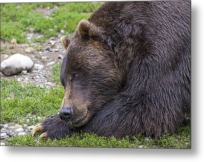 Snoozing Grizzly Metal Print by Saya Studios