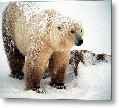 Snow Bear Metal Print by Alice Ramirez
