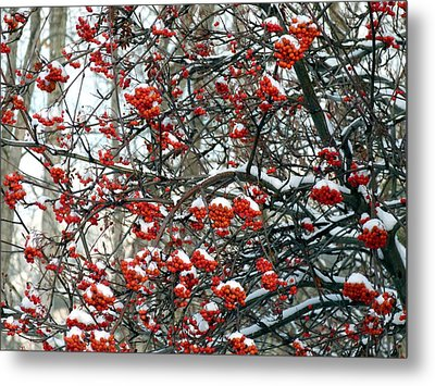 Snow- Capped Mountain Ash Berries Metal Print by Will Borden