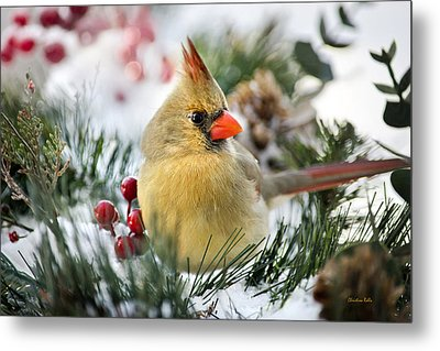 Metal Print featuring the photograph Snow Cardinal by Christina Rollo