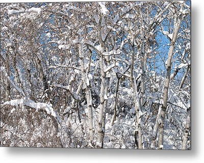 Snow Covered Birch Trees Metal Print