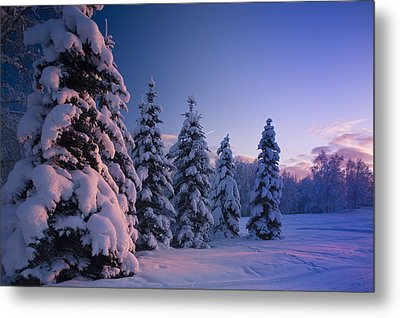 Snow Covered Spruce Trees At Sunset Metal Print by Kevin Smith