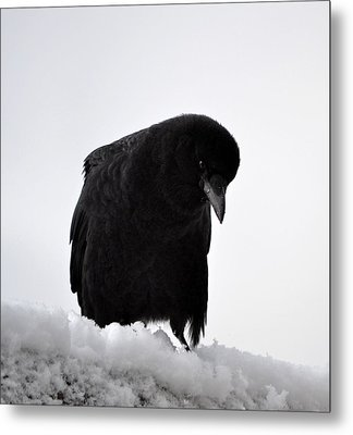 Snow Crow -edition  6 Of 10 Metal Print
