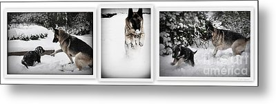 Metal Print featuring the photograph Snow Dogs. Triptich by Tanya  Searcy