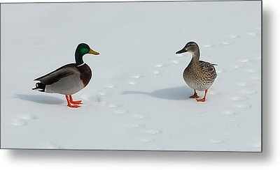 Metal Print featuring the photograph Snow Ducks by Mim White