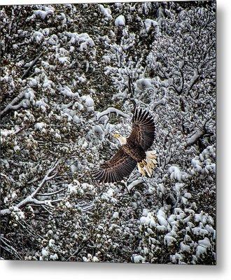 Metal Print featuring the photograph Snow Flight Bald by Britt Runyon
