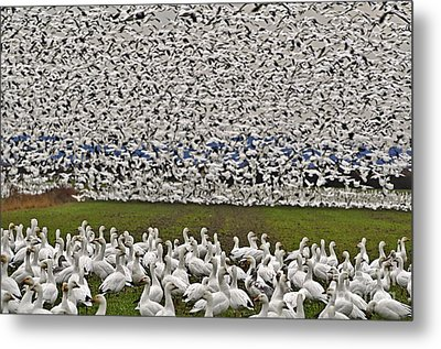 Metal Print featuring the photograph Snow Geese By The Thousands by Valerie Garner