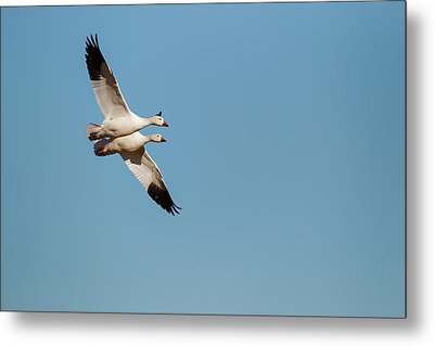 Snow Geese (chen Caerulescens Metal Print by Larry Ditto