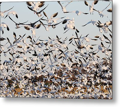 Snow Geese Takeoff From Farmers Corn Field. Metal Print