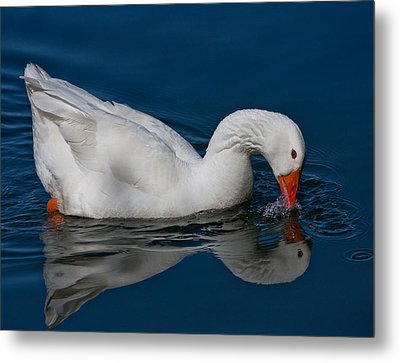 Snow Goose Reflected Metal Print by John Haldane