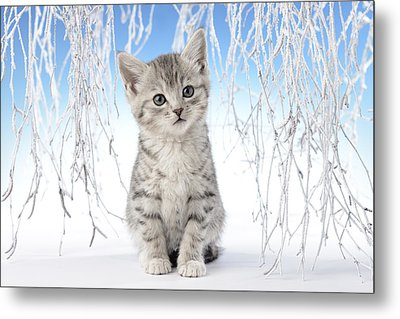 Snow Kitten Metal Print by Greg Cuddiford