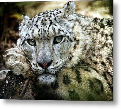 Snow Leopard Metal Print by Chris Boulton