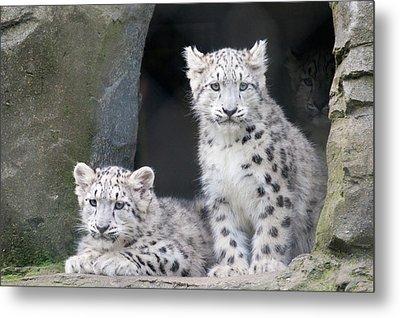 Snow Leopard Cubs Metal Print by Chris Boulton