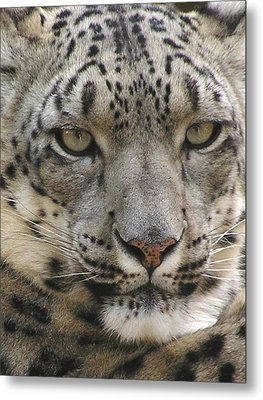 Metal Print featuring the photograph Snow Leopard by Diane Alexander