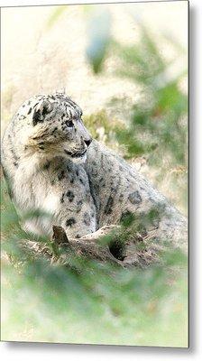 Snow Leopard Pose Metal Print by Karol Livote