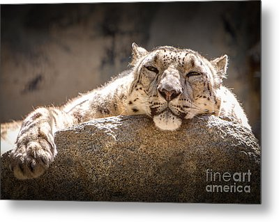 Snow Leopard Relaxing Metal Print by John Wadleigh