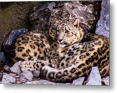 Metal Print featuring the photograph Snow Leopards by Cathy Donohoue