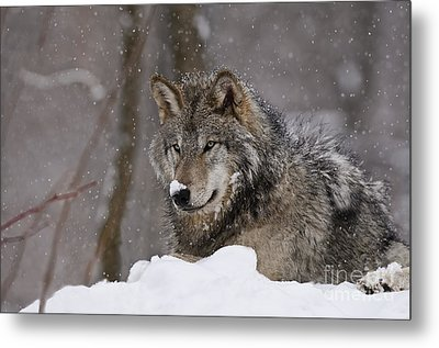 Snow Nose Metal Print by Wolves Only