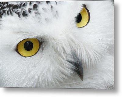 Snow Owl Eyes Metal Print