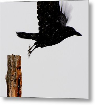 Metal Print featuring the photograph Snow Raven Blurr by Britt Runyon