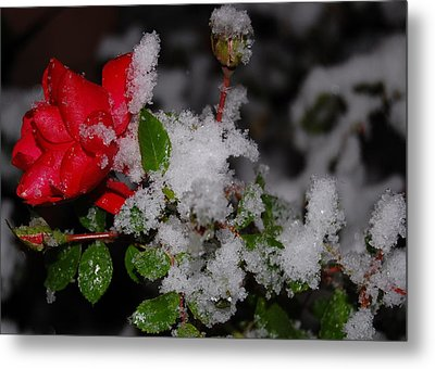 Metal Print featuring the photograph Snow Rose by Mim White