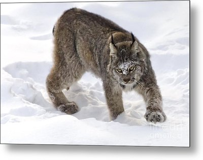 Snow-shovelling Lynx Metal Print by Dee Cresswell