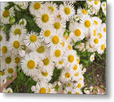 Snow White Asters Metal Print