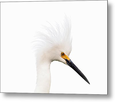Metal Print featuring the photograph Snow White Egret by Phil Stone