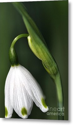 Metal Print featuring the photograph Snowdrop by Joy Watson