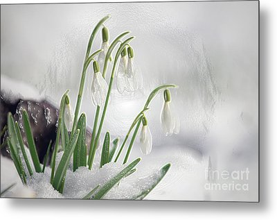 Snowdrops On Ice Metal Print by Sharon Talson