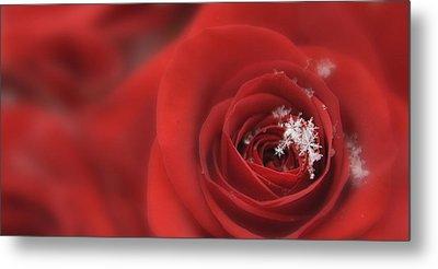 Snowflakes On A Rose Metal Print by Lori Grimmett