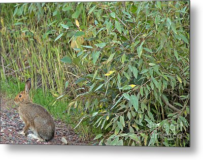 Snowshoe Hare In Montana Metal Print by Natural Focal Point Photography